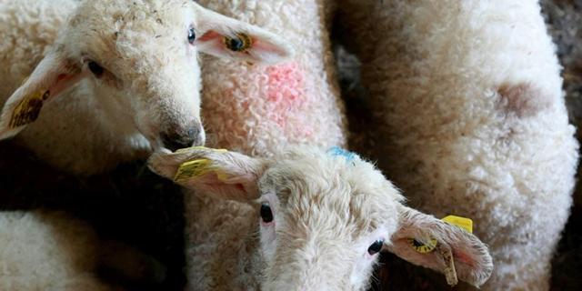 l-agnelle-genetiquement-a-ete-envoyee-a-l-abattoir-avec-des_2842658_800x400